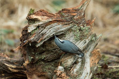 Eurasian Nuthatch and Seed Royalty Free Stock Photo