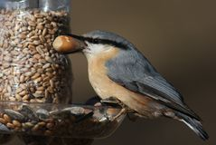 The Eurasian Nuthatch (Sitta europaea) Royalty Free Stock Photo