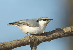 Eurasian Nuthatch, Sitta europaea Stock Photo