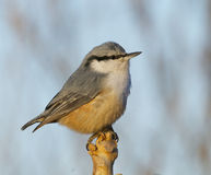 Eurasian Nuthatch, Sitta europaea Stock Photography