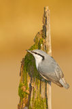 Eurasian Nuthatch, Sitta europaea Royalty Free Stock Image