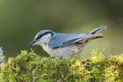 Eurasian Nuthatch (Sitta europaea). Nuthatch in the mossy surface with green background feeding on seeds Royalty Free Stock Photography