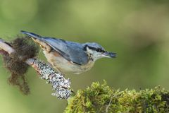 Eurasian Nuthatch (Sitta europaea). Eurasian nuthatch on mossy branch close-up shot with green background Royalty Free Stock Photography