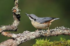 Eurasian Nuthatch (Sitta europaea). Nuthach sitting on a branch with lichens sideview. Moss in the foreground, dark green background Stock Photography