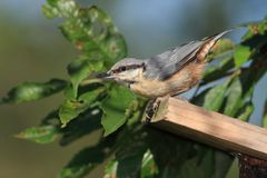 Eurasian Nuthatch (Sitta europaea). Nuthach perched on a roof of a nestbox with cherry tree leaves in the background Stock Photos