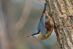 European nuthatch Sitta europaea on a tree bark. Eurasian Nuthatch Sitta europaea in the autumn, sitting on a tree trunk Royalty Free Stock Photo