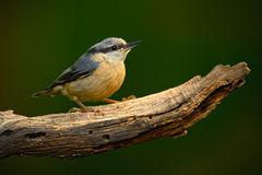 Eurasian Nuthatch, Sitta europaea, beautiful yellow and blue-grey songbird sitting on the branch, bird in the nature forest habita Royalty Free Stock Photo
