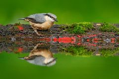 Eurasian Nuthatch, Sitta europaea, beautiful yellow and blue-grey songbird sitting near the water, bird in the nature forest habit. At Stock Photography