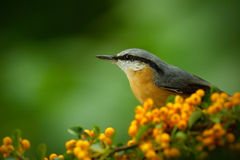 Eurasian Nuthatch, Sitta europaea, beautiful yellow and blue-grey songbird sitting on the yellow flower, bird in the nature forest. Germany Royalty Free Stock Photo