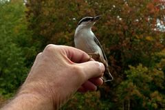 Eurasian Nuthatch. Sitta europaea is fed from a hand. In Sweden stock photo