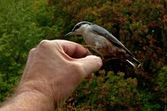 Eurasian Nuthatch. Sitta europaea is fed from a hand. In Sweden royalty free stock photo