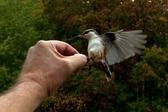 Eurasian Nuthatch. Sitta europaea is fed from a hand. In Sweden stock images