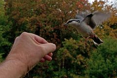 Eurasian Nuthatch. Sitta europaea is fed from a hand. In Sweden royalty free stock image