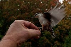 Eurasian Nuthatch. Sitta europaea is fed from a hand. In Sweden royalty free stock photos