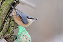 Eurasian Nuthatch (Sitta europaea) Royalty Free Stock Image