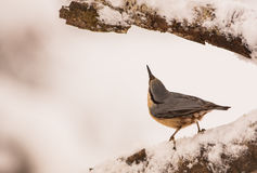 Nuthatch looking up. An Eurasian Nuthatch (Sitta europaea) has discovered something eatable in the crack of a frozen branch Stock Photos
