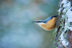 Eurasian nuthatch, Sitta europaea. Perched to a larch trunk covered by snow stock photos