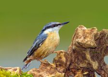 Eurasian Nuthatch - Sitta europaea searching for food. Male Eurasian Nuthatch - Sitta europaea on an interesting log searching for food in a Welsh woodland royalty free stock images