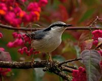 Eurasian Nuthatch. Sitta europaea sits on a Spindle tree on autumn. Eurasian Nuthatch. Sitta europaea sits on a Spindle tree Euonymus planipes in a field during stock image