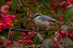 Eurasian Nuthatch. Sitta europaea sits on a Spindle tree on autumn. Eurasian Nuthatch. Sitta europaea sits on a Spindle tree Euonymus planipes in a field during stock images