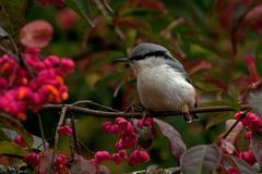 Eurasian Nuthatch. Sitta europaea sits on a Spindle tree on autumn. Eurasian Nuthatch. Sitta europaea sits on a Spindle tree Euonymus planipes in a field during stock photography