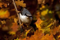 Eurasian Nuthatch. Sitta europaea sits on a tree on autumn. Eurasian Nuthatch. Sitta europaea sits on a tree in a field during autumn, with viss leaves around royalty free stock image