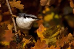 Eurasian Nuthatch. Sitta europaea sits on a tree on autumn. Eurasian Nuthatch. Sitta europaea sits on a tree in a field during autumn, with viss leaves around stock photos