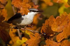 Eurasian Nuthatch. Sitta europaea sits on a tree on autumn. Eurasian Nuthatch. Sitta europaea sits on a tree in a field during autumn, with viss leaves around royalty free stock photo
