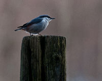 Eurasian Nuthatch. Sitta europaea sitting on a stump Stock Images