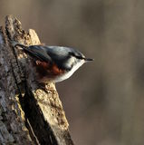 Eurasian Nuthatch. Sitta europaea sitting on a stump Stock Photography