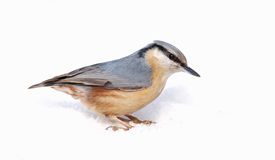 Eurasian Nuthatch (Sitta europaea) on Snow Stock Photo