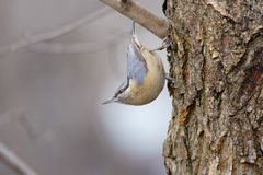 The Eurasian Nuthatch (Sitta europaea). Stock Image
