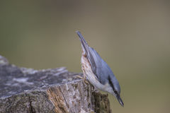 Eurasian nuthatch, (sitta europaea) at a tree stump Stock Photography