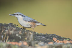 Eurasian nuthatch, (sitta europaea) at a tree stump Stock Photo