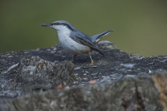 Eurasian nuthatch, (sitta europaea) at a tree stump Royalty Free Stock Photos