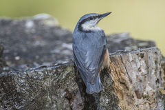Eurasian nuthatch, (sitta europaea) at a tree stump Stock Images
