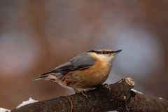 European nuthatch Sitta europaea on a tree bark royalty free stock images