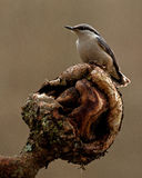 The Eurasian nuthatch Sitta europaea Royalty Free Stock Photography