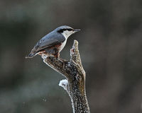 The Eurasian nuthatch, Sitta europaea Stock Photography