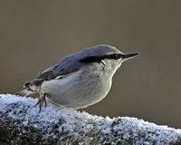 The Eurasian nuthatch, Sitta europaea Stock Image