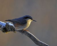 Eurasian Nuthatch, Sitta europaeaon sits on an old frozen branch Stock Photography