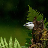 Eurasian Nuthatch, Sitta europaeaon sitting in the rain on an old stump Stock Image