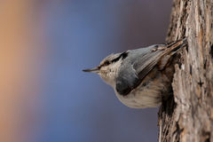 Eurasian nuthatch. Sitting on the bark of a tree Royalty Free Stock Photos