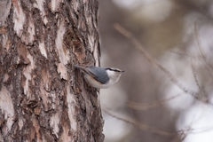 Eurasian nuthatch Stock Image