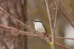 Eurasian Nuthatch Stock Images