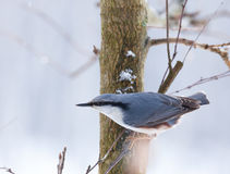Eurasian nuthatch sitting on branch Royalty Free Stock Photos