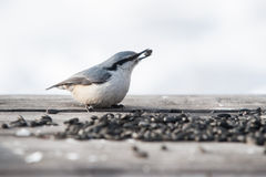 Eurasian nuthatch with sunflower seed Royalty Free Stock Photography
