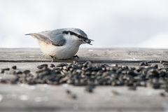 Eurasian nuthatch Stock Photography