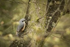 Eurasian nuthatch Royalty Free Stock Photography