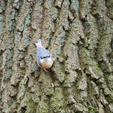 Eurasian nuthatch in tree Royalty Free Stock Photography